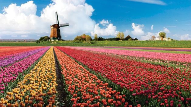 vibrant-tulips-growing-in-a-field-in-holland